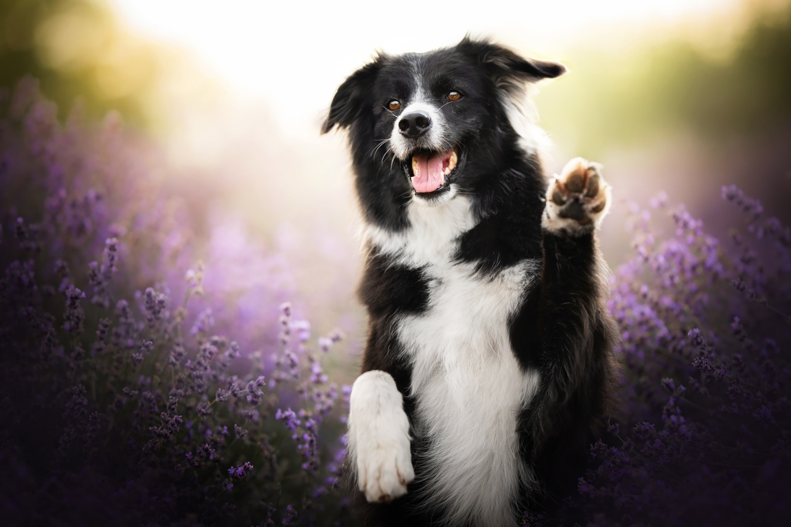 Adult Black And White Collie Animals Dog Face Border