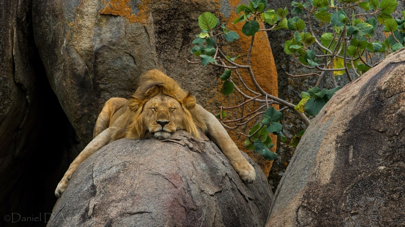 Angry Lions Wallpaper Gallery 47 Angry Lions Background Of