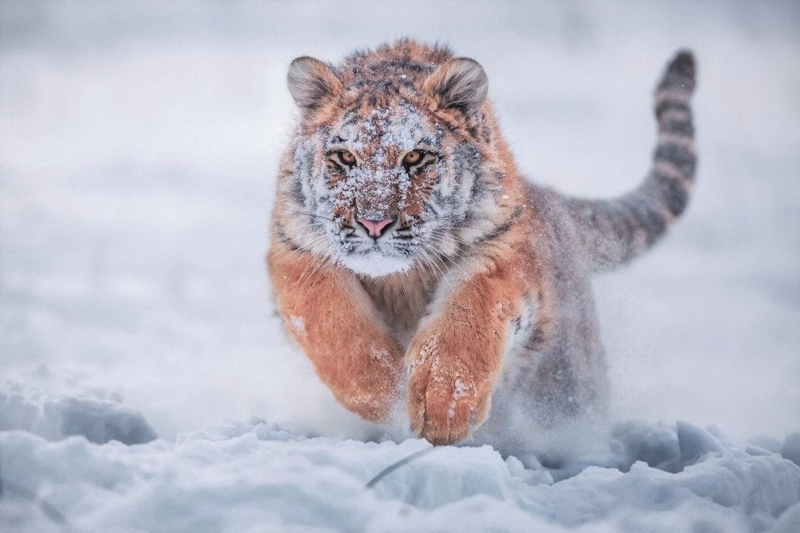 Angry tiger wallpaper download