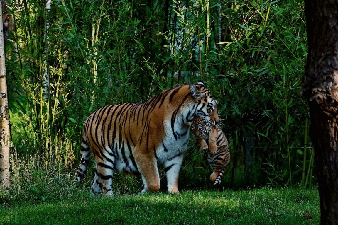 Animals Hd Wallpaper Tiger Hd Wallpaper Top Wallpaper