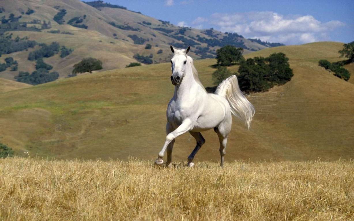 Beautiful White Horse Wallpaper Image Wallpaper And