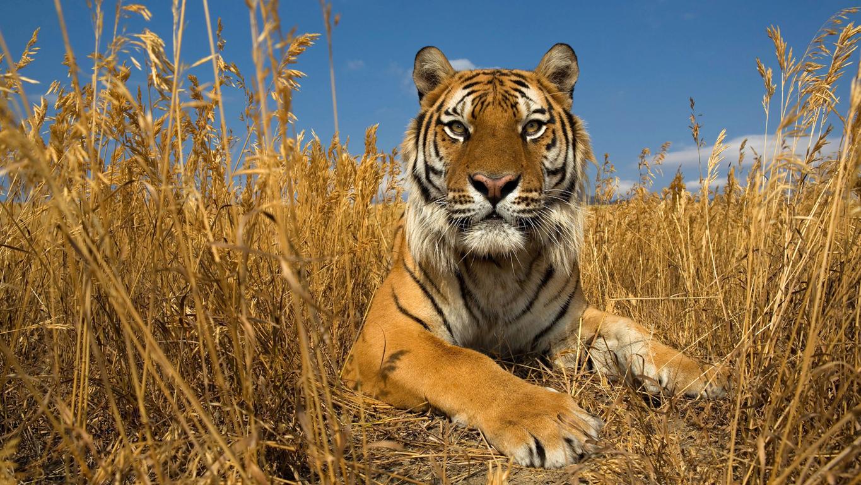 Bengal Tiger Closeup Iphone Wallpaper Animals 6