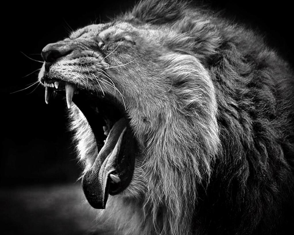Black Lions Wallpaper