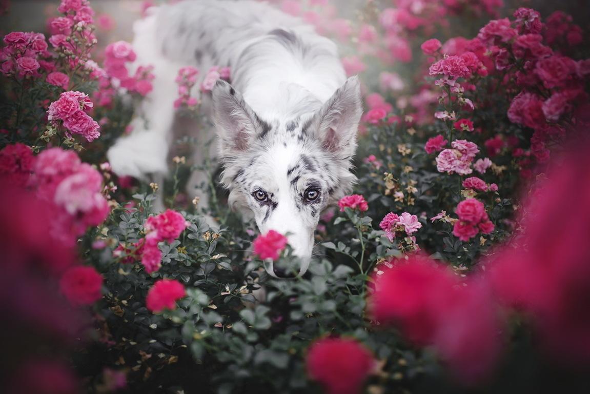 Border Collie Dog White Lake Flowers