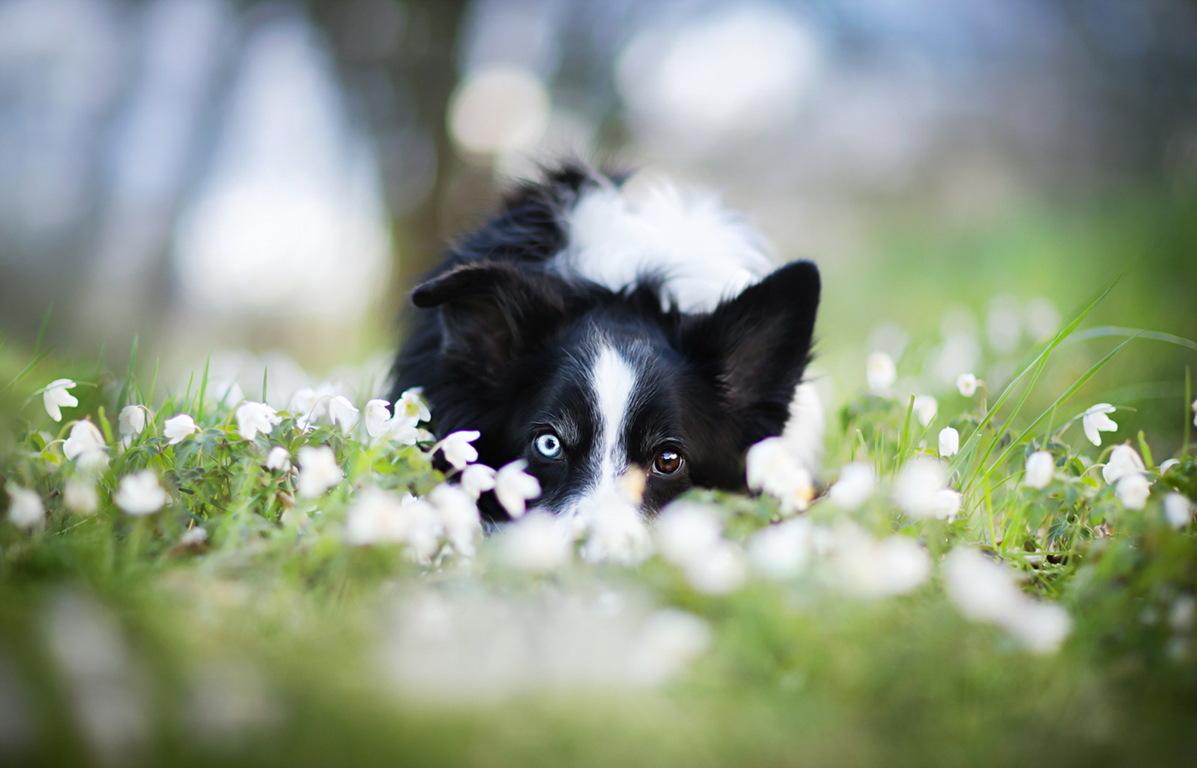 Border Collie Dog White Mountains Flowers