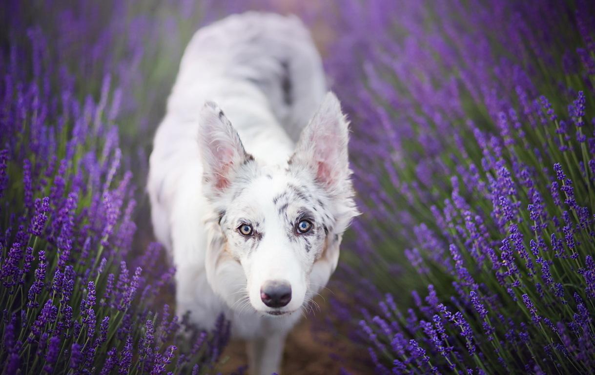 Border Collie Pet Dog & Bird Wallpaper Dogs Pet Animal