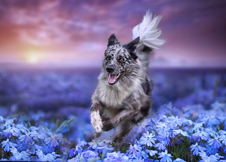 Border Collie Pet Dog & Bird Wallpaper Dogs Pet Hd Animal