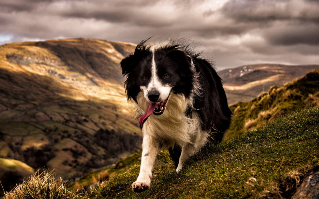 Border Collie Wallpaper For 4k Android