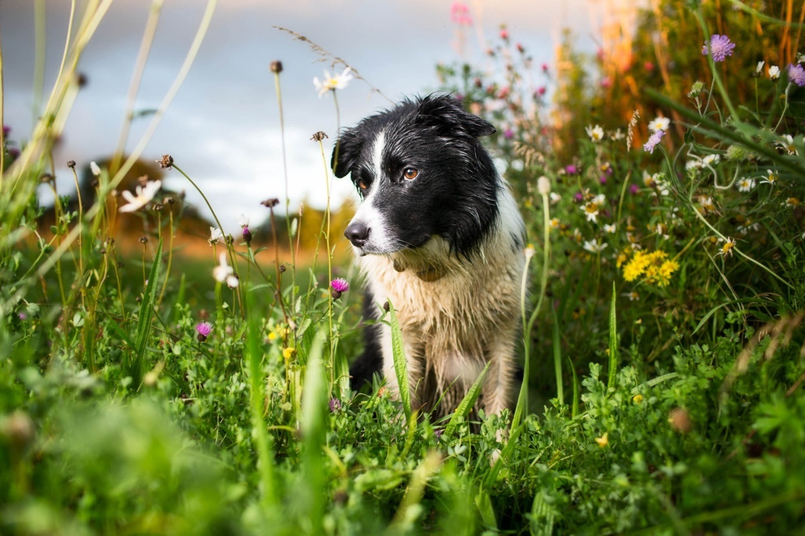 Border Collie Wallpaper For Hd 4k Android