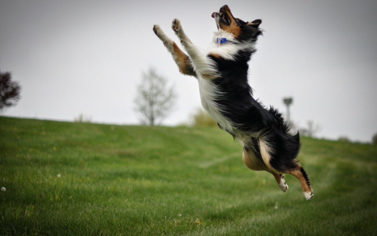 Border Collie Wallpaper For Hd Android