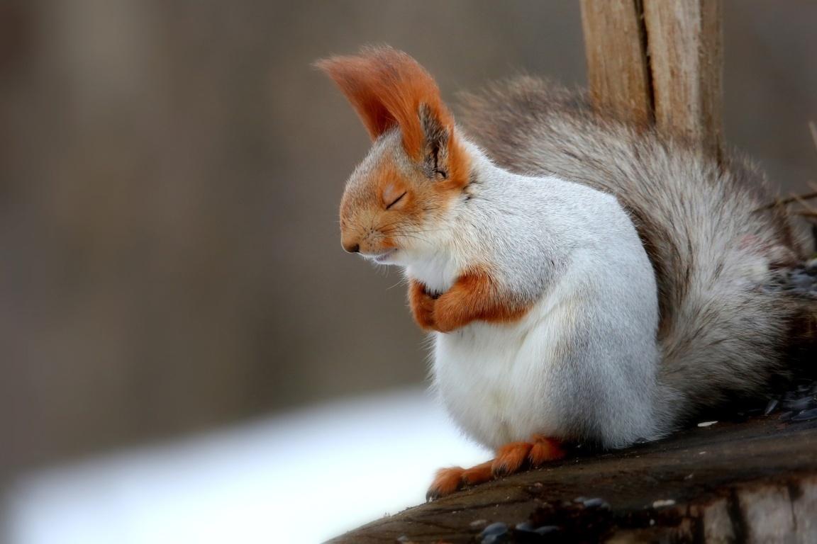 Brown Squirrel On Grey Hd Wallpaper Rock