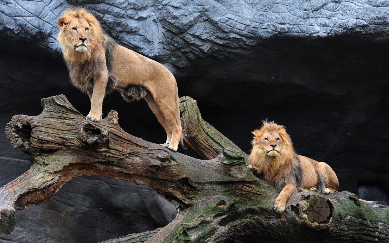 Cool Lion Wallpaper
