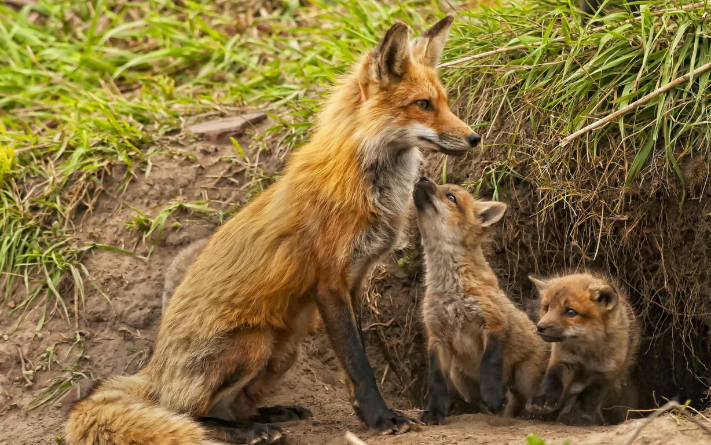 Curious fox Wallpaper