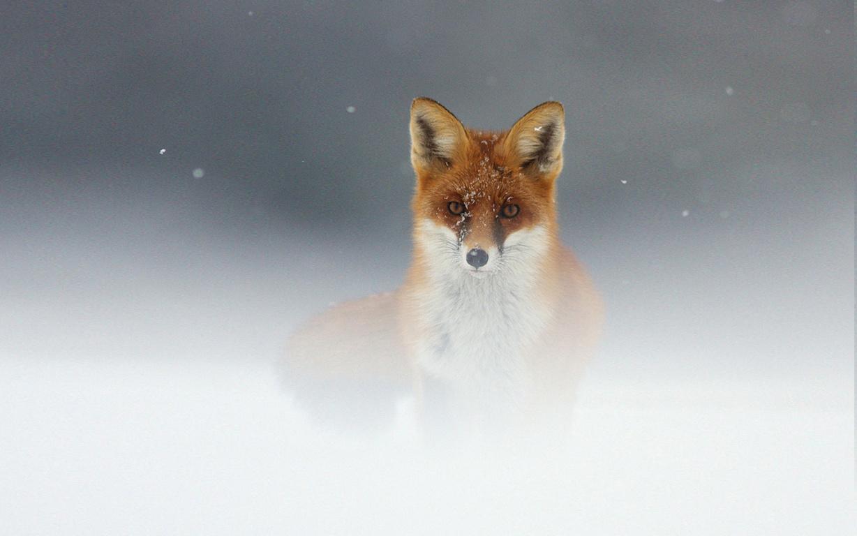 Cute Baby Fox Wallpaper