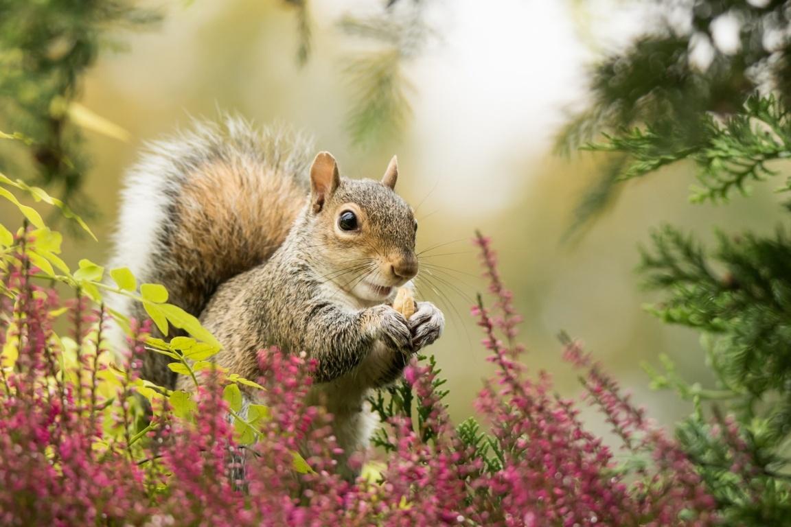 Cute Red Squirrel Wallpaper. Red Squirrel Stock Photos Cute