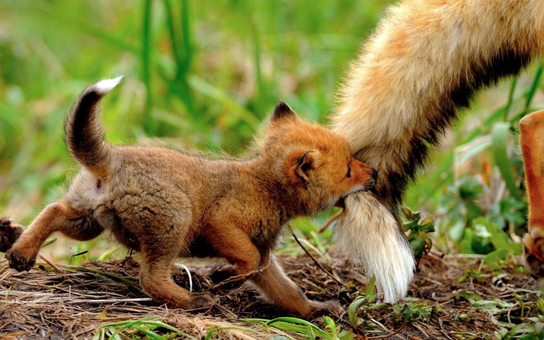 Desktop HD Animals Fox Image