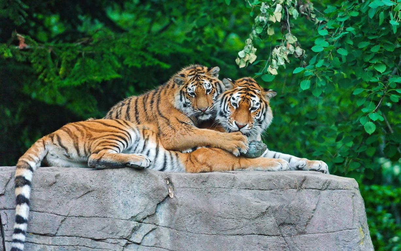 Download 3D tiger Wallpaper download HD New 3D tiger Wallpaper