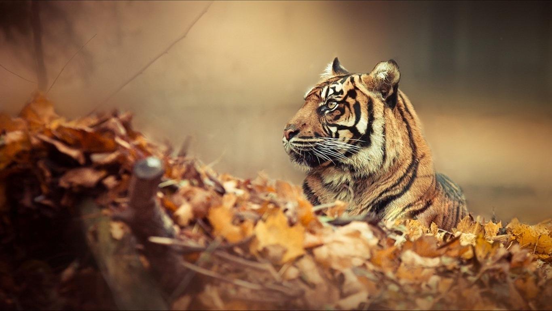 Download 3d Tiger Wallpaper Hd New 3d Tiger Wallpaper Download