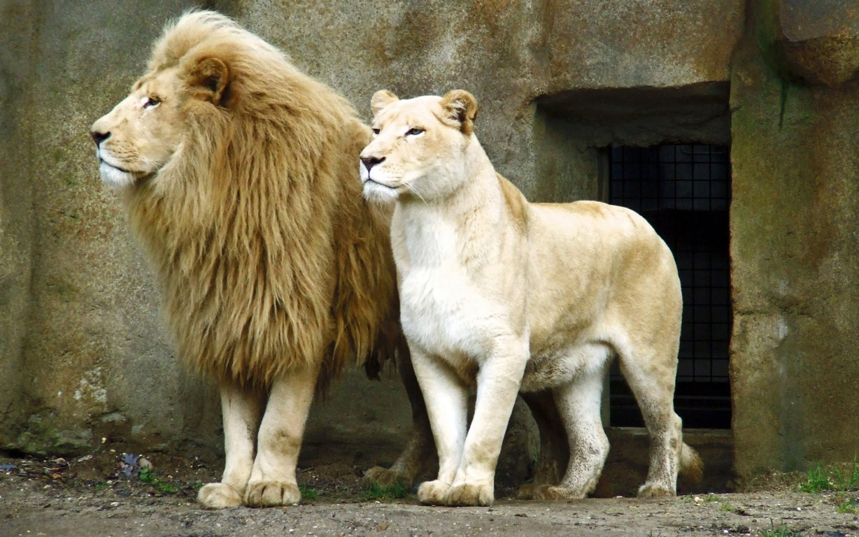 Download Lion Wallpaper u5x Download