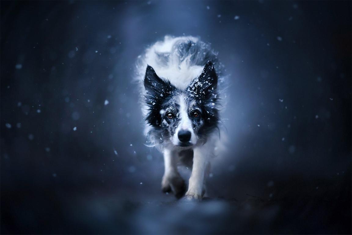 Download Wallpaper Border Collie Lies Dog