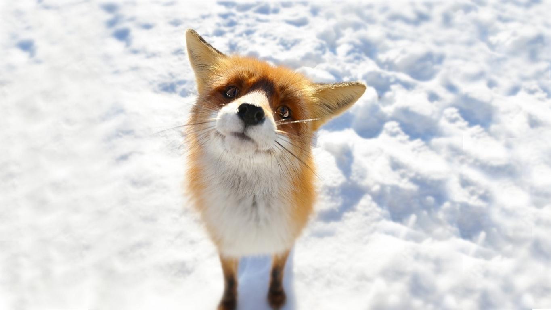Fox Animal Wallpaper Full Wallpaper Search Animals Hd