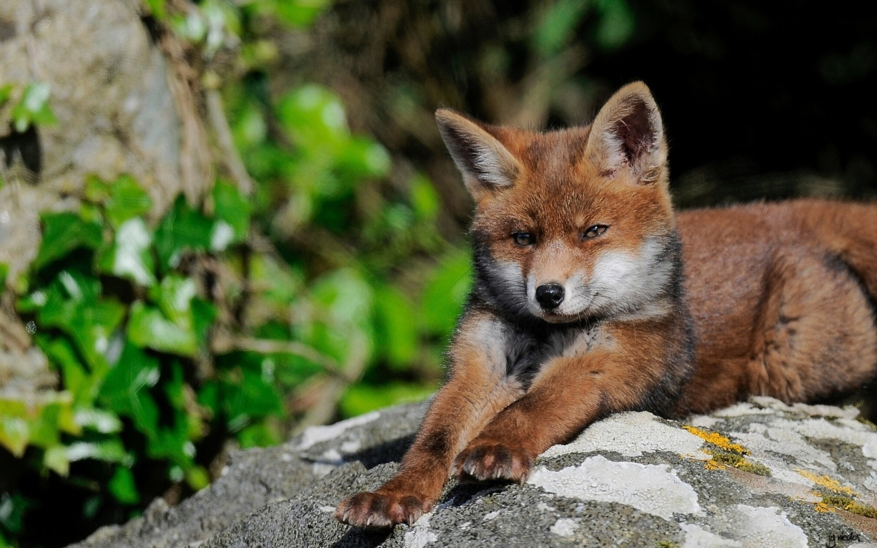 Fox Full Hd Wallpaper Background Image And