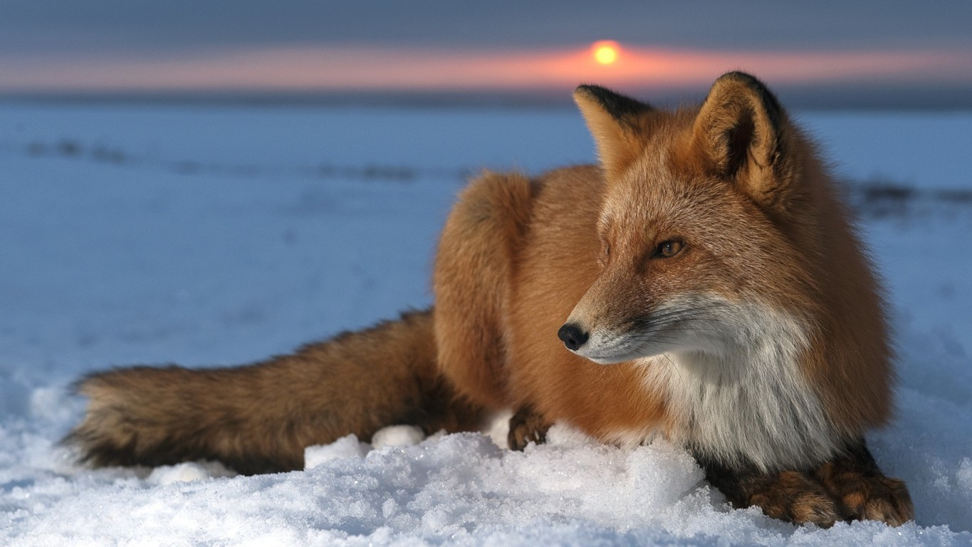 Fox HD Wallpaper and Background Image Hd