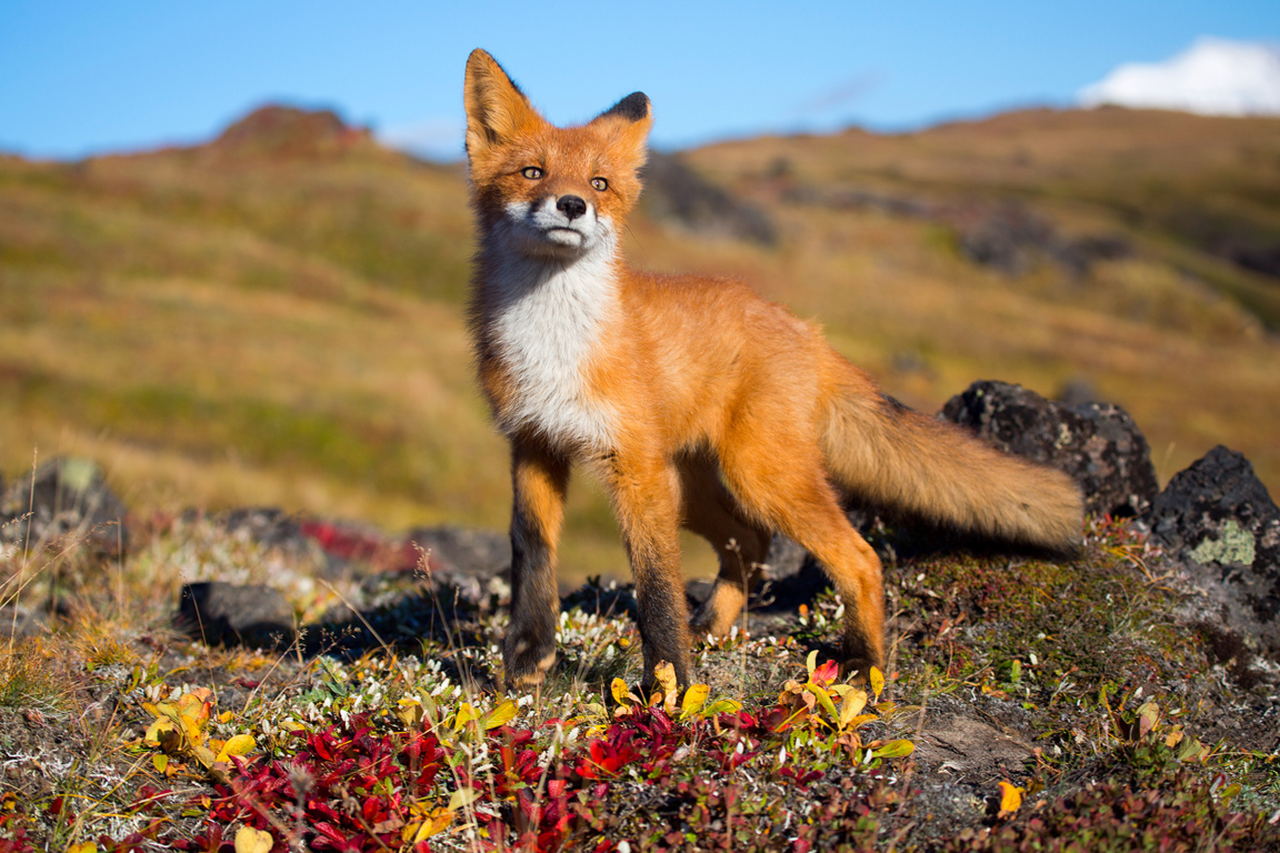 Fox Hd Wallpaper And Image Hd Background