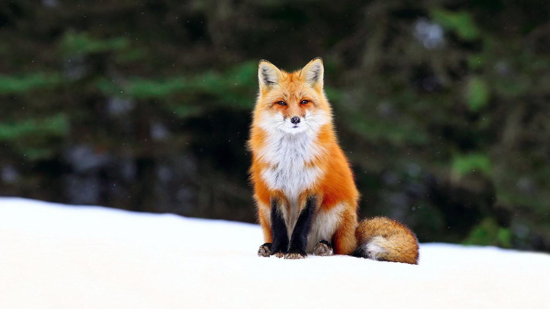 Fox Wallpaper 4208 px 4K