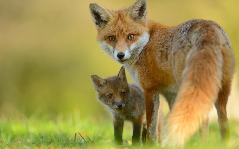 Fox Wallpaper 4208 px HD