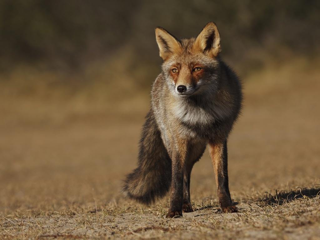 Fox Wallpaper 4208 px