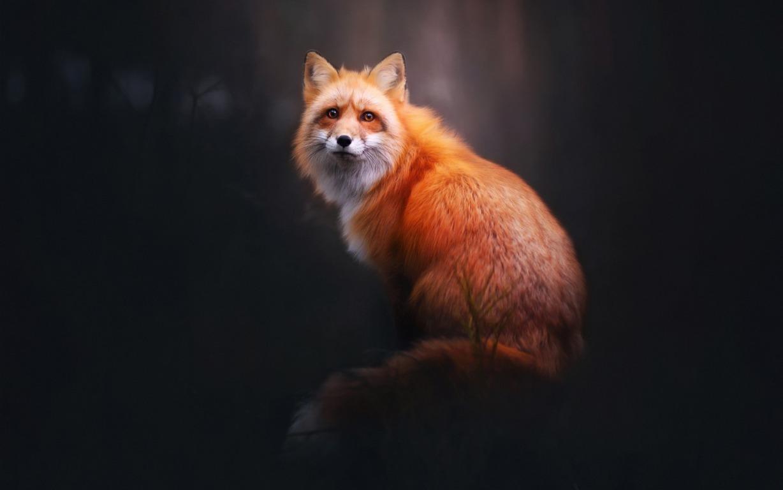 Fox Wallpaper Iphone My A Aisuru Wallpaper Edition