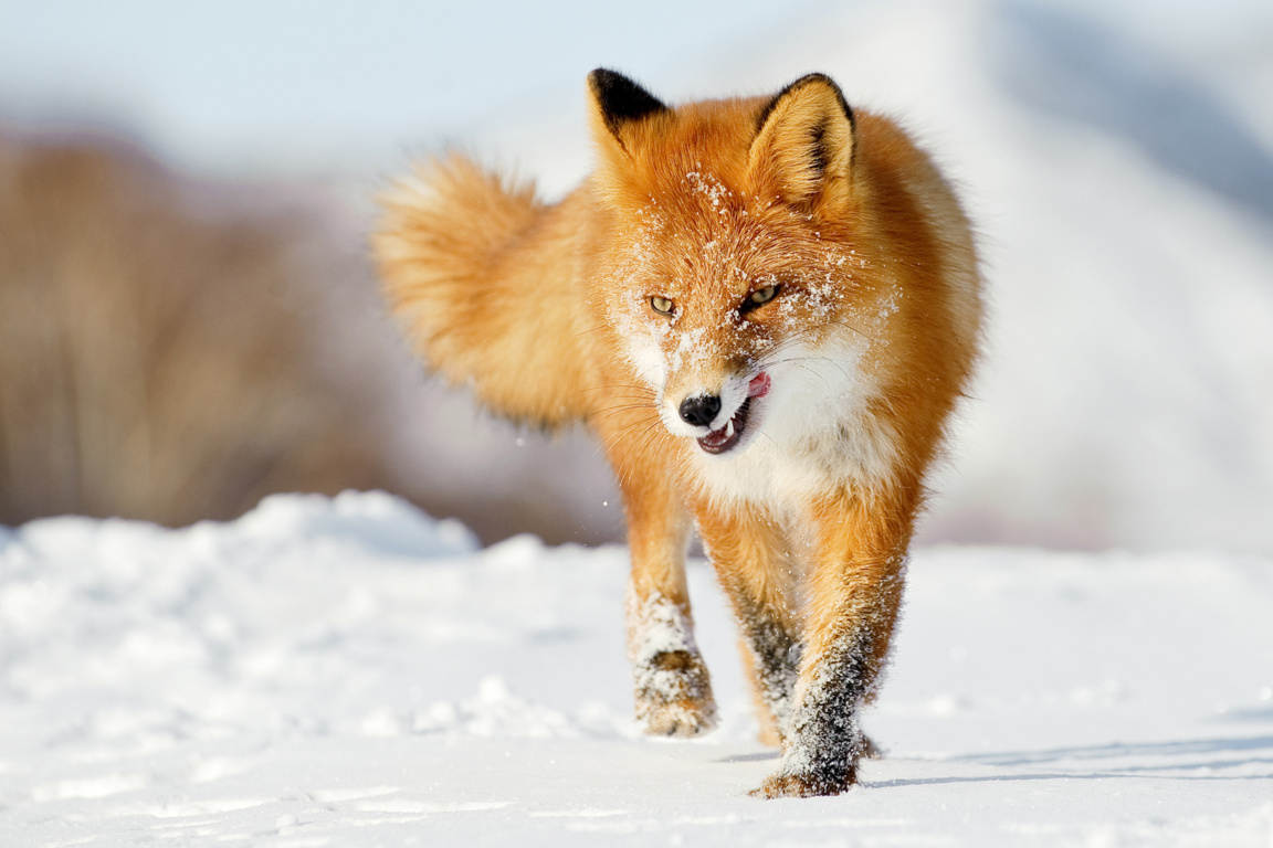 Fox Wallpaper and Background Image
