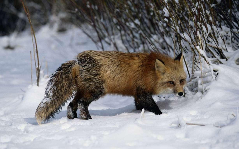 Fox wallpaper collection 4K