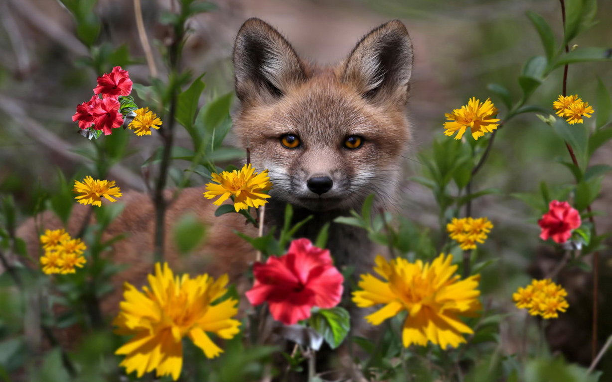Foxes Image Arctic Fox Wallpaper And Background Photo Hd