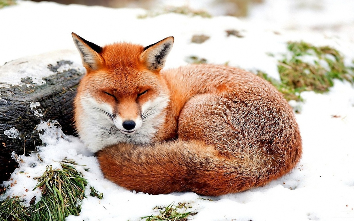 Foxes Image Red Fox Autumn Hd Wallpaper And Background Photo In