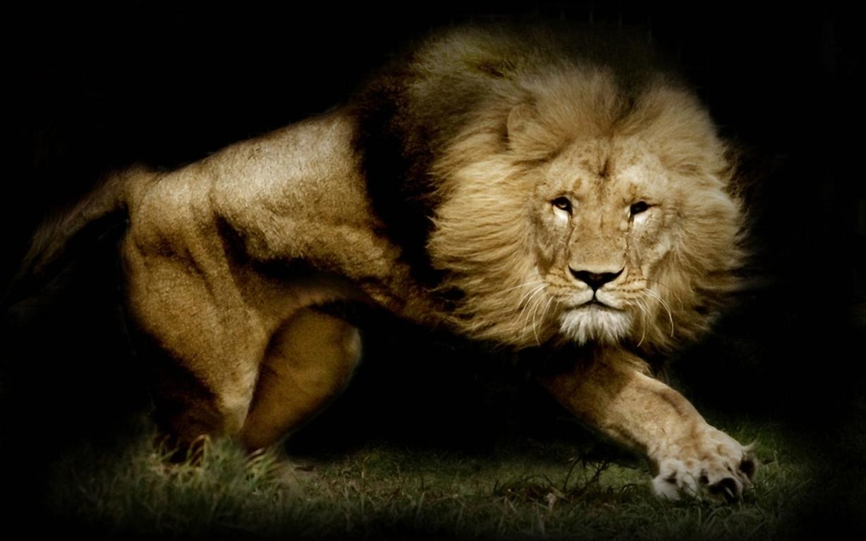 Free Lion Wallpaper Widescreen