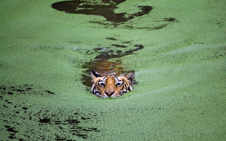 Hd Wallpaper Tiger