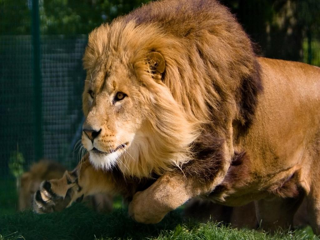 High Resolution Lion Wallpaper