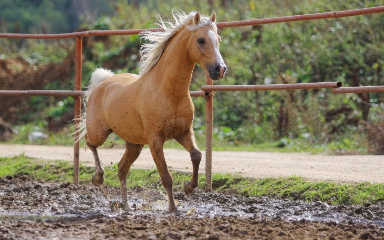 Horse Hd Wallpaper And Image Background