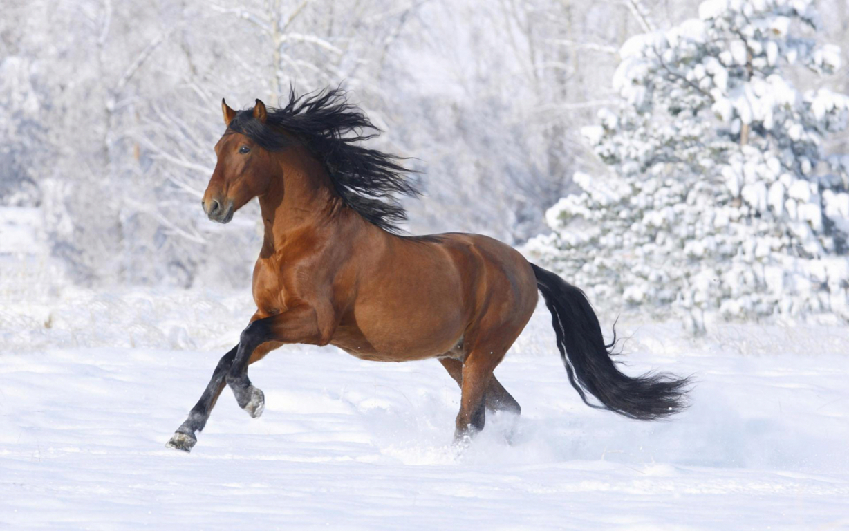 Horse Hd Wallpaper And Image Hd Background
