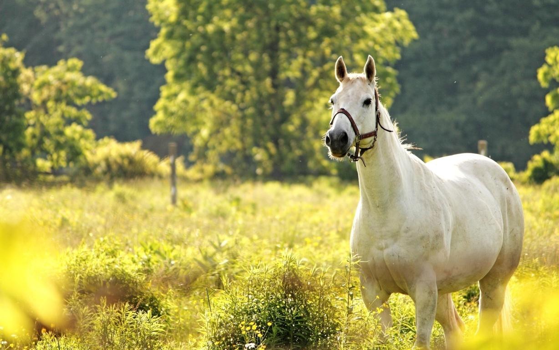Iceland Horses HD Wallpaper