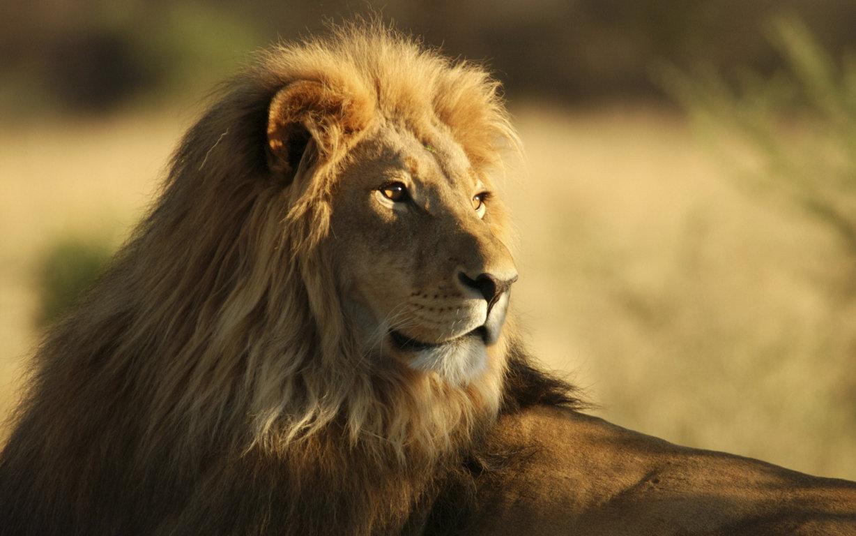 Lion Roar Free Download Wallpaper 3308 Hd Wallpaper Site Hd