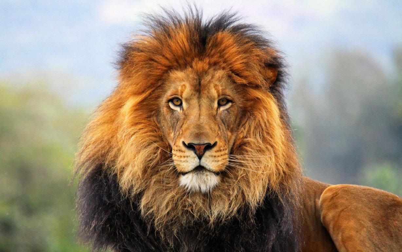 Lion Wallpaper 14214
