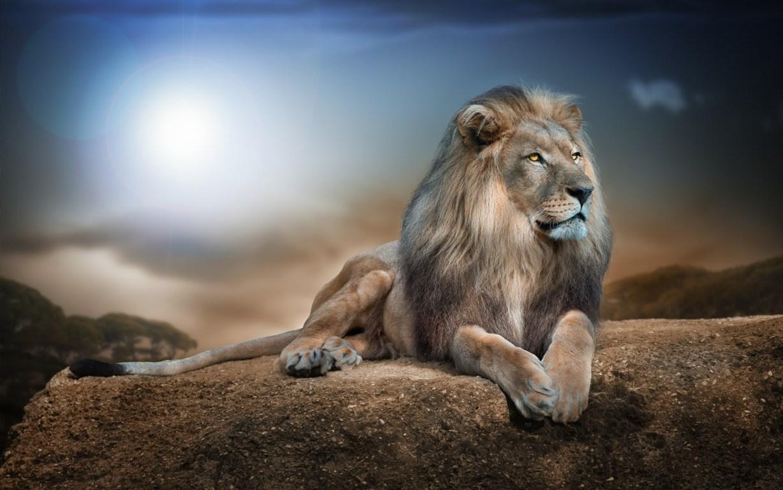 Lion Wallpaper Hd Resolution Wallpaper Earthly