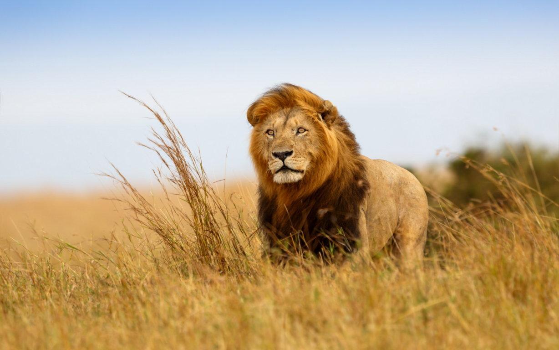 Lion Wallpaper High Cute Wallpaper Animals