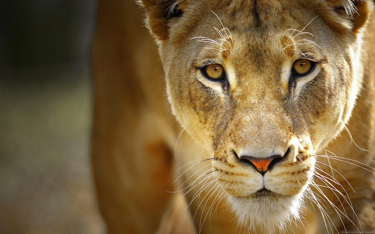 Lion Wallpaper To See Click On Image Iphone6 Wallpaper More
