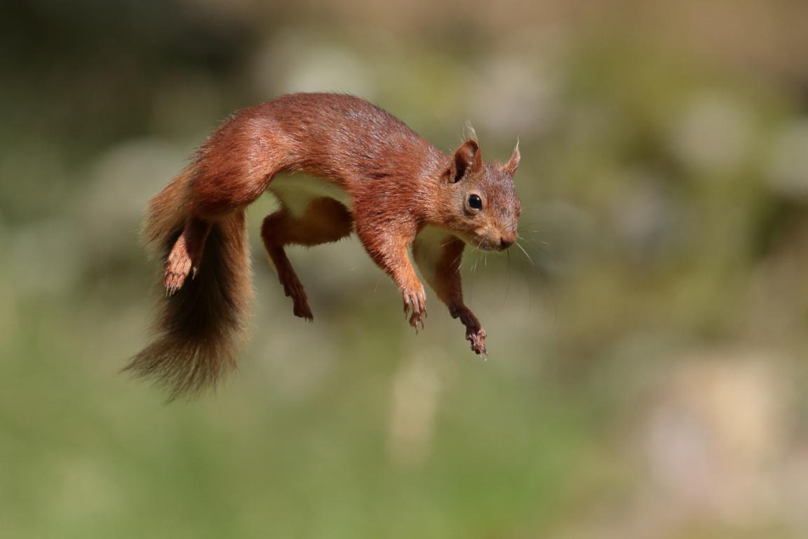 My Squirrels Hd Wallpaper Tab Theme New