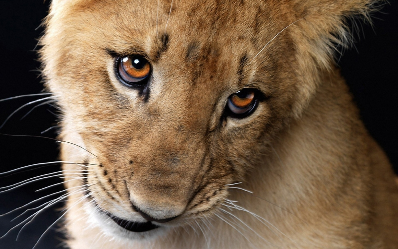 Narnia Lion Aslan Wallpaper