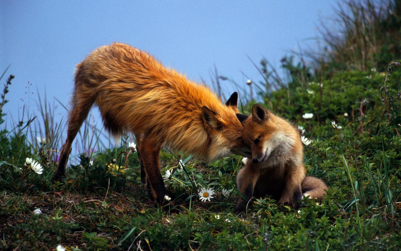 Red Fox Wallpaper 4K